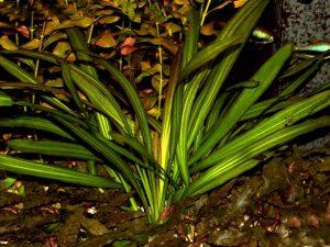 echinodorus-bolivianus